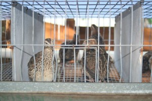 quail in cages may 2012 300x200 Backyard Quail Farming   Spring 2013 Update